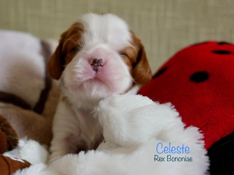 cuccioli-cavalier-king